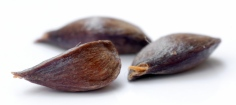Apple_seeds_-_variety_Regia_(aka)