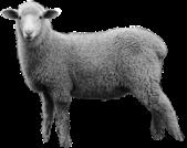 sheep_PNG2186