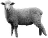 sheep_PNG2186