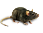 1_mouse