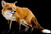 fox_PNG370
