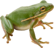 willow_frog
