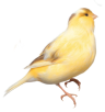 Yellow_Bird_PNG_Clipart_Picture