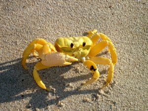 101116_Ghost_crab_Gnaraloo_Bay_Rookery