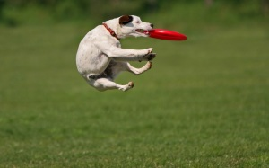 dog-playing-and-catching-a-frisbee-hd-animal-wallpaper-dogs
