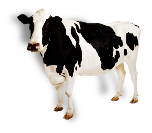 cow_PNG2126