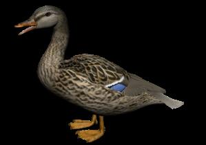 Duck-28-500x353
