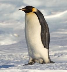 Emperor_Penguin_Manchot_empereur