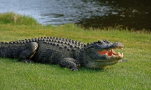 X Alligator Even the alligators wear a grin on Kiawah Island, voted 'America's Happiest Seaside Town' by Coastal Living magazine. Credit Kiawah Island Golf Resort [Via MerlinFTP Drop]