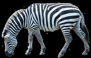 zebra_PNG8974
