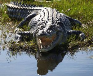 crocodile-attacks-4