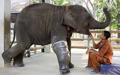 elephant_fake_leg_1363374c.jpg