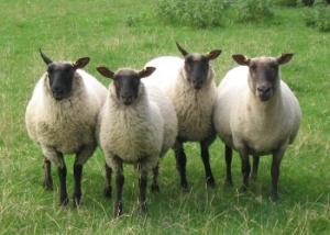sheephome