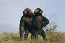 """Fast friends, a pair of orphans face the future together at Tchimpounga, whose very existence is a source of controvery. """"Many conservationists feel it is a w aste of money to build sanctuaries for orphaned chimpanzees,"""" says Goodall, agr eeing that saving habitat is important too. """"But there are not many people who, after meet ing an orphaned infant and looking into those desperate eyes, can turn away."""" 9 5-03-78 CC: 60 MICHAEL NICHOLS 12/01/1995 Location: Tchimpounga Sanctuary, Pointe-Noir, Republic of Congo."""